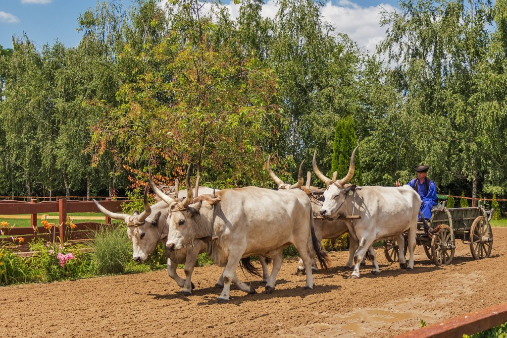 hungarian-grey-cattle-394181_1280